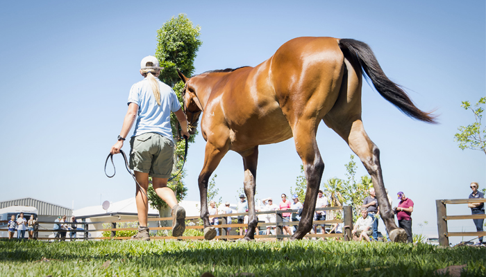 Top Quality in Perth Autumn Racehorse Sale