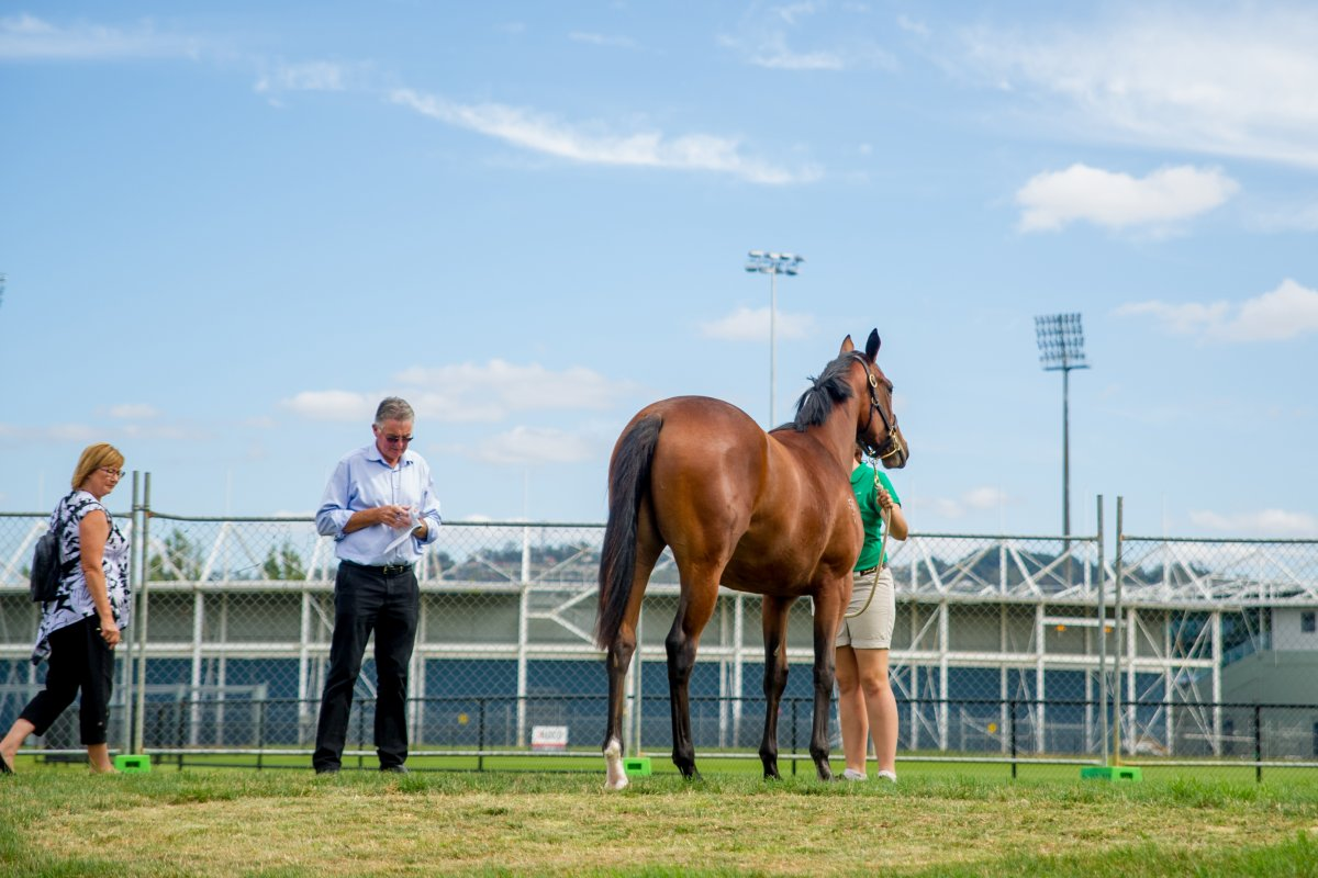 New Date for Tasmanian Yearling Sale