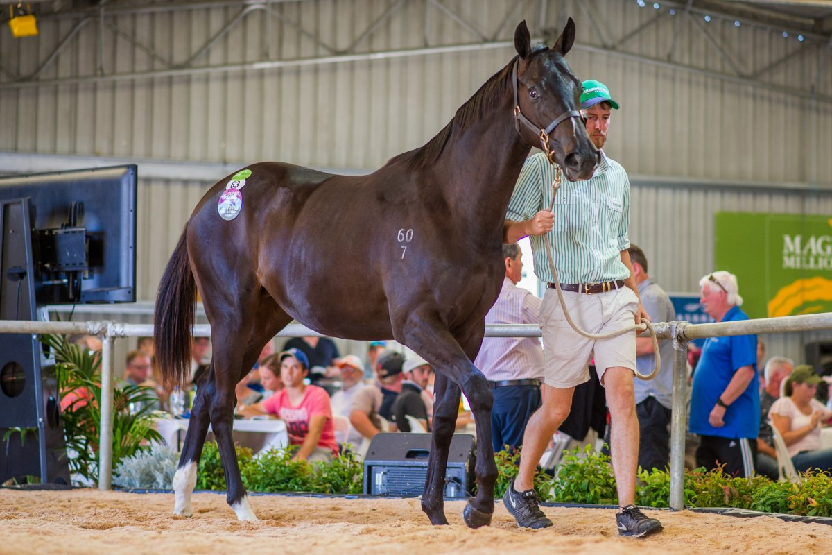Record Gross at Tasmanian Yearling Sale